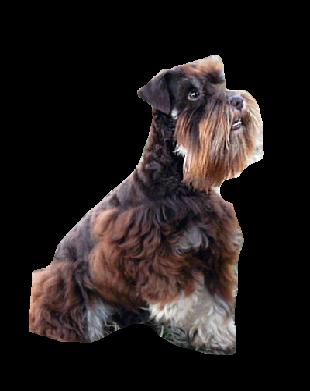 Best Dog Food For Standard Schnauzer